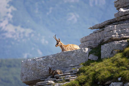 Wild chamois climbs rocks on the top of a mountain. Wild animal in nature. Banque d'images