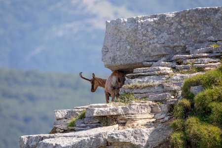 A chamois climbs the rocks at the top of the mountain. Wild animal in the wild in nature.