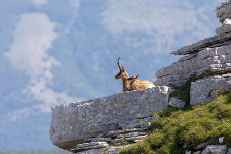 Mom and cub of wild chamois cuddle on the rocks in the sun, on top of the summit. Wild animal in the wild in nature