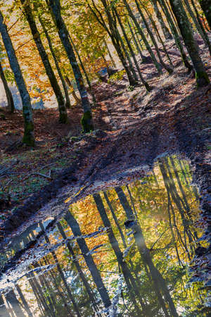 Beech trees in autumn are reflected in a puddle of water. Stok Fotoğraf