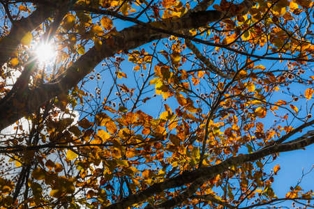 Multicolored dry leaves on the branches of the tree in autumn Stok Fotoğraf