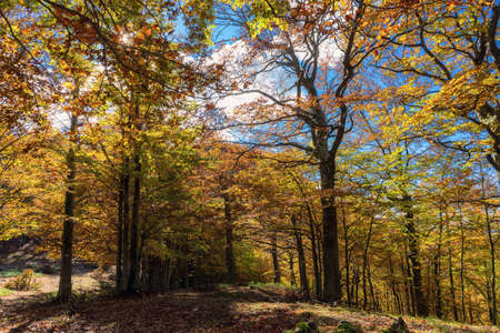 Beech forest in autumn. Expanses of trees with orange, red, yellow and leaves. Useful background or multicolored texture. Stok Fotoğraf