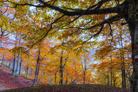 Beech forest in autumn. Backlit trees in the background and a bed of dry leaves in the foreground.