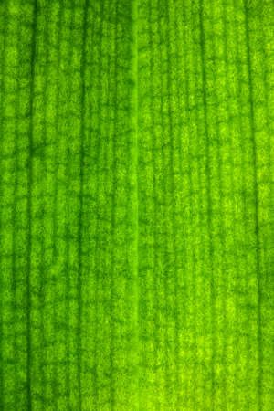 Macro photography of the veins and channels inside a green orchid leaf. Detail of the intercommunicating vessels for the influx of chlorophyll and internal nutrients.
