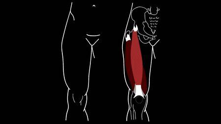 Musculus quadriceps femoris. Musculus rectus femoris. Human anatomy
