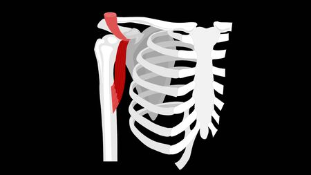 Coracobrachialis muscle. The deep muscles of the arm. Image on a black background.