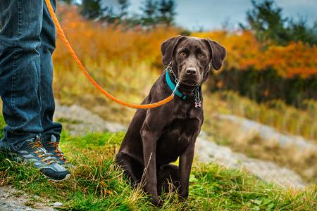 Brown Labrador on a leash looking sad Reklamní fotografie - 91197033