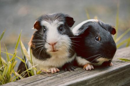 Zwei süße Meerschweinchen liebenswert amerikanisch dreifarbig mit Wirbel auf dem Kopf im Park, der Gräser isst