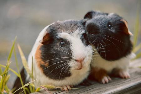 Zwei süße Meerschweinchen liebenswert amerikanisch dreifarbig mit Wirbel auf dem Kopf im Park, der Gräser isst Standard-Bild