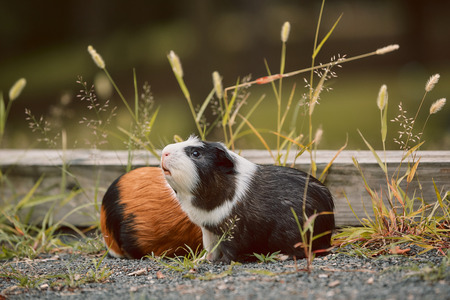 two cute guinea pigs adorable american tricolored with swirl on head in park eating grasses