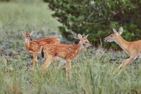 Three Wild deers outdoors in forest eating grass fearless with cute fawn mother with two babies