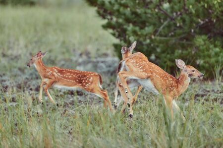 Wild deers outdoors in forest eating grass fearless with cute  two fawns jumping