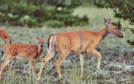 Wild deers outdoors in forest eating grass fearless with cute fawn mother with baby