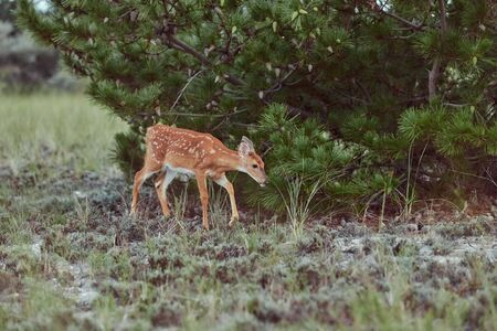 Wild deers outdoors in forest eating grass fearless with cute fawn Stock Photo