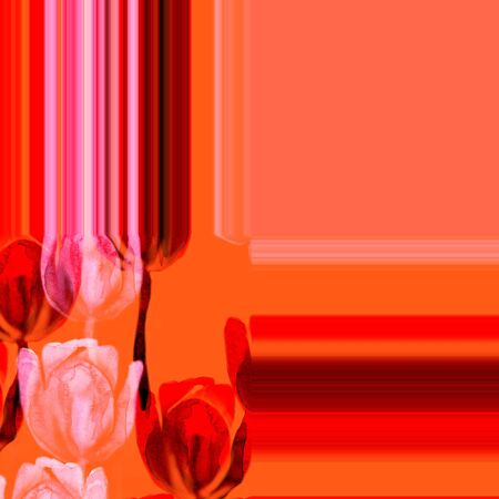 Watercolor red and light tulip flower illustration on orange . Abstract trace background.
