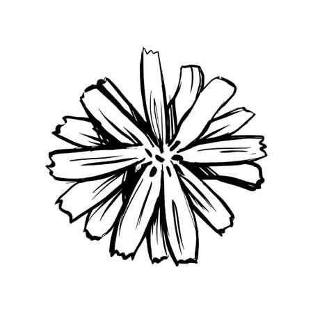 Chicory flower sketch. Black hand drawn vector illustration isolated on white background. Ilustracja