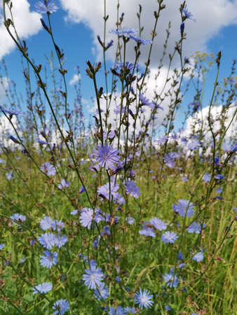 Chicory flower in a meadow. Blue sky and white clouds. Sunny day. Summertime landscape.
