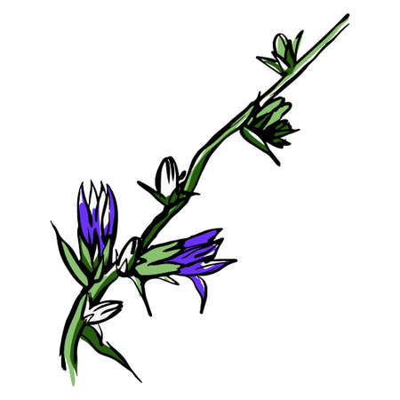 Chicory purple flower sketch. Hand drawn illustration isolated on white background.