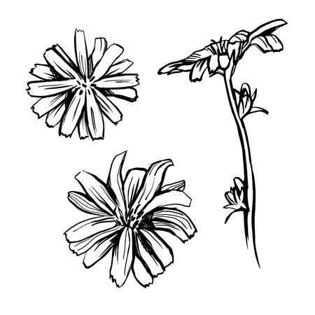 Chicory flower sketch set. Black hand drawn illustration isolated on white background. Ilustracja