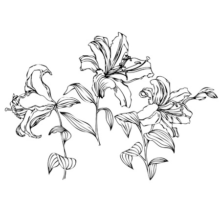 lily vector: Flowers lily, vector floral illustration in vintage style, isolated on white background