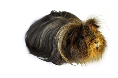 quadruped: guinea pig