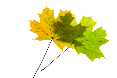the lumen: Two maple leaf on a gleam, isolation