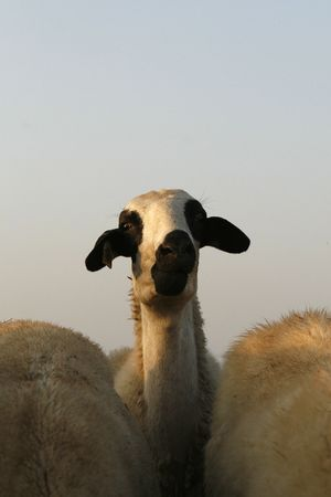 dinne: a beautiful potrait from a lady sheep in a field