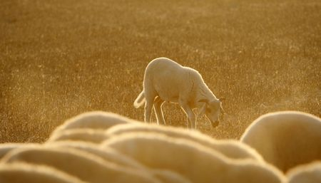 dinne: a beautiful  sheep late in the aftrenoon Stock Photo