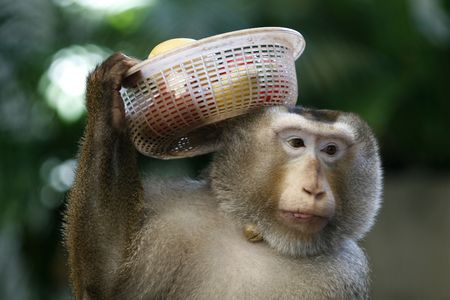 a Monkey carry some fruits on his head photo