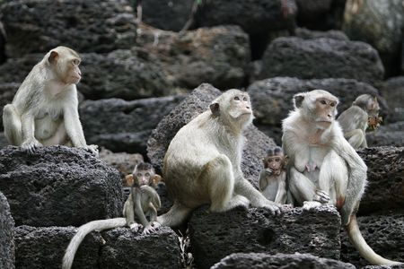 many monkeys in a historical place in Thailand photo