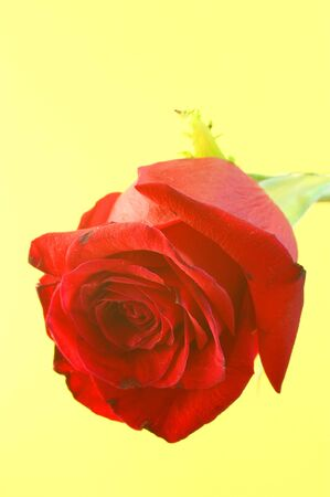 florets: a rose flower in a yellow background