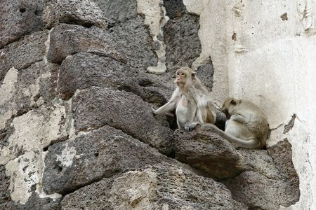 lop: thousands of monkeys at Lop Buri historical place