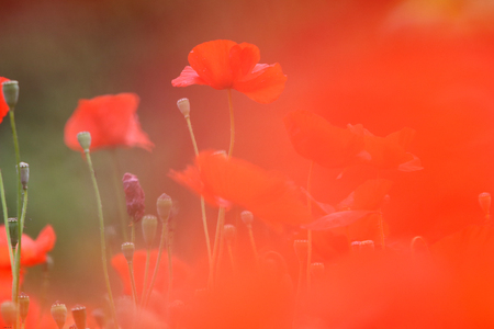 Landscape with Poppies.
