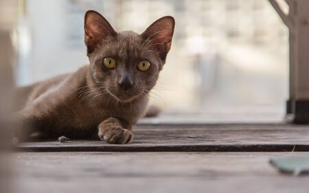 clawing: Brown cat lying on a wooden floor. Stock Photo