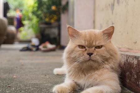 cat persian looking