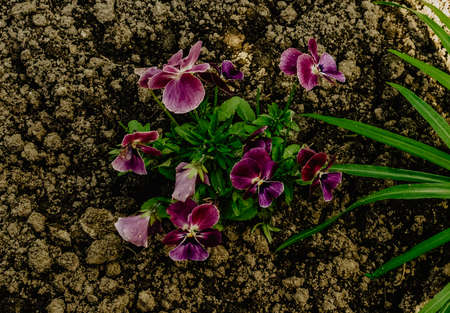 small burgundy purple pansy flowers in the ground