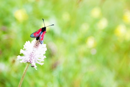 Red butterfly on red clover, macro photo