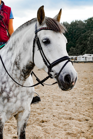 portrait of a beautiful oldenburg horse in harness Banco de Imagens - 126822154