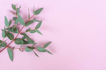 Green Silver dollar Eucalyptus cinerea leaves and branches on pastel pink background. Floral composition.