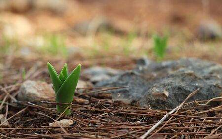 Green flower sprout in pine forest photo