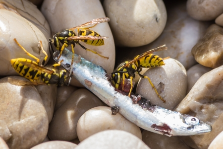 Closeup of three wasps ripping away chunks of dead fish photo