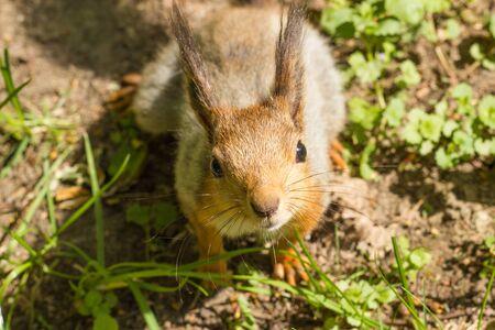 vulgaris: Red squirrel (Sciurus vulgaris) in a park in the spring