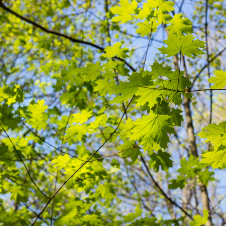 Green maple leaves. Young foliage against blue spring or summer sky.