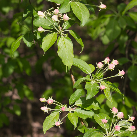 Closeup of apple tree branch with flower buds in early spring
