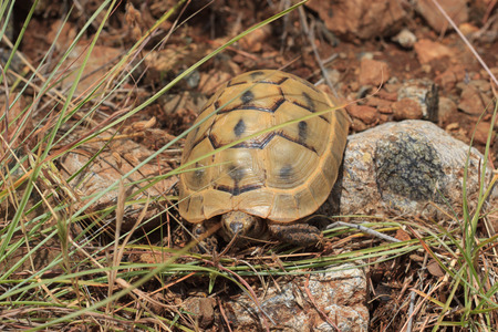 Brown tortoise in natural environment, Turkey