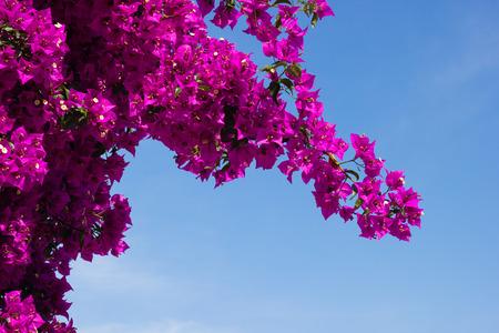 Brunch of Bougainvillea flowers against sky