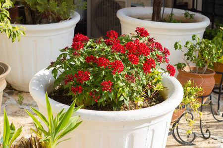 Blooming Pentas flowers in white plant pot Banque d'images