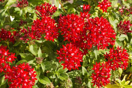 Blooming Pentas flowers Banque d'images