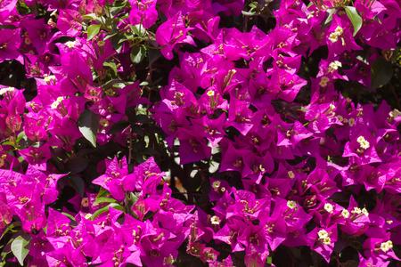 Closeup of Bougainvillea flowers