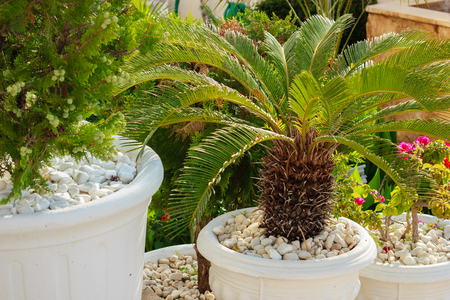 Palm tree in flowerpot Banque d'images